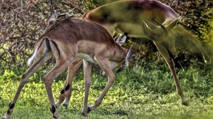 two impalas fighting horn
